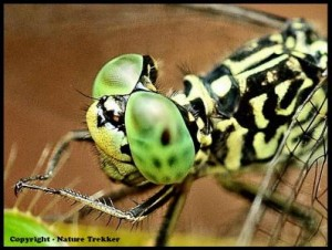 Macro Photography - Dragonfly
